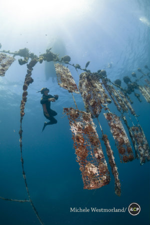 Pearl farm divers retrieving oyster nets in open ocean.  This expedition looked into the health of the coral reef around the Gambier Islands in French Polynesia.