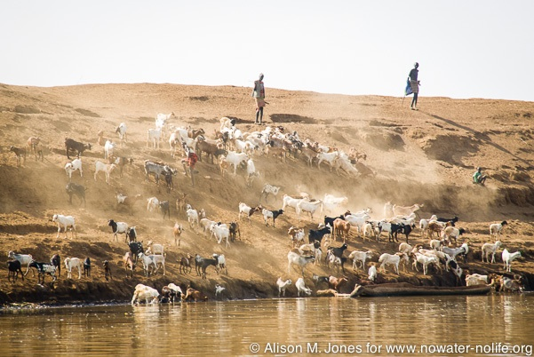 Ethiopia: Lower Omo River Basin, Omo Delta at low water stage, leading herd to water