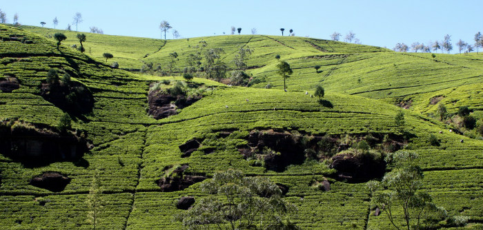 Tea Plantation Sri Lanka